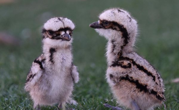 Read more about We have some baby curlews at our parks!